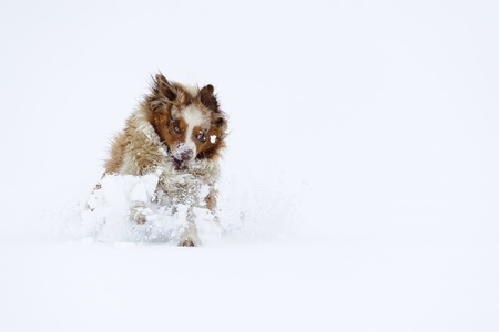 breaking in: Australian Shepherd breaking in cloud of snow on filed in white winter Stock Photo