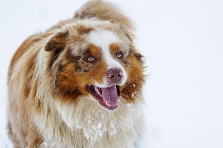 australian shepherd: Australian Shepherd standing on snowy field in winter from front view Stock Photo