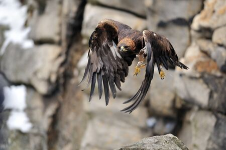 Golden eagle flying betwwen rock close to stones with majestic wings position