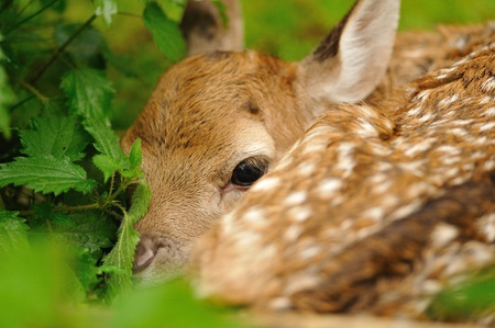 Just born cute young fallow deer lying on the grass photo