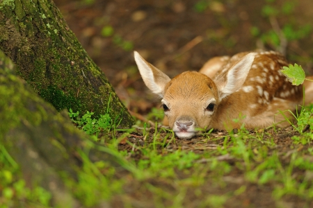 Just born cute young fallow deer lying on the grass Stock Photo