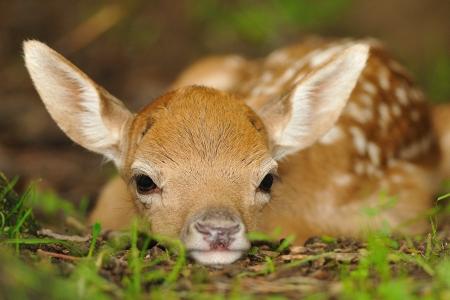 Gerade geboren netten jungen Damhirsch auf dem Rasen lag