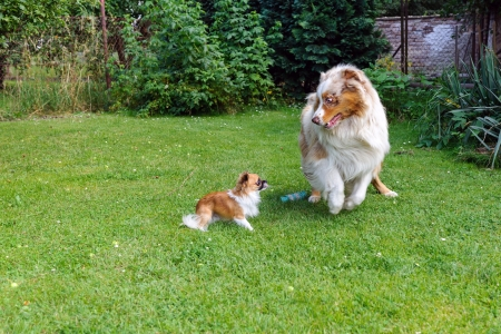 rollick: Chihuahua and Australian Shepherd jumping and playing on the green garden grass