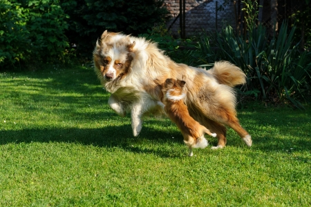 Chihuahua and Australian Shepherd jumping and playing on the green garden grass Stock Photo - 21264215