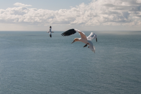 Two flying Northern Gannets above see and sky with clouds