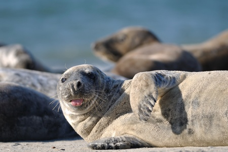 Harbor seal stick ones tongue out on the sandy beach