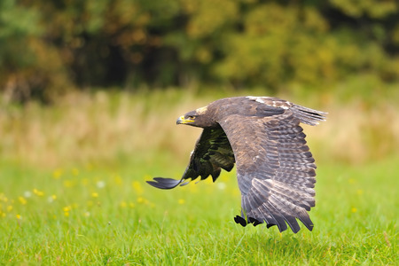 Steppe Eagle flying above the green field photo