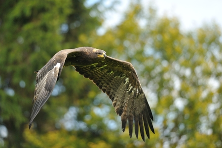 Steppe Eagle flying with autumn trees in background photo