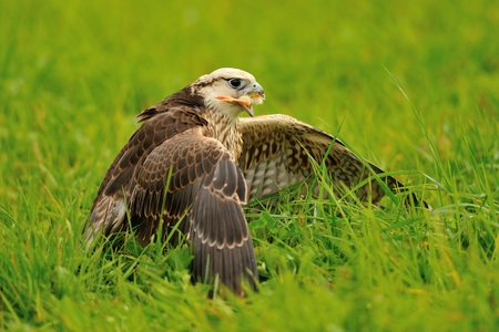 Eating Lanner Falcon on the green ground with prey in beak Stock Photo