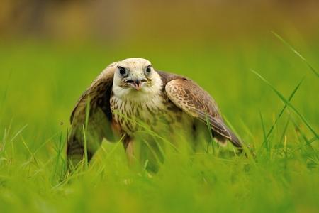 bird eating raptors: Closeup Lanner Falcon standing on the green grass ground