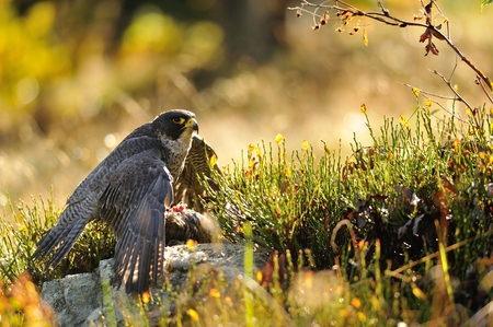 falco peregrinus: Peregrine Falcon sitting on the ground and eating his prey Stock Photo