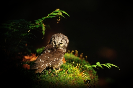 boreal: Boreal Owl standing on the moss in the wood Stock Photo