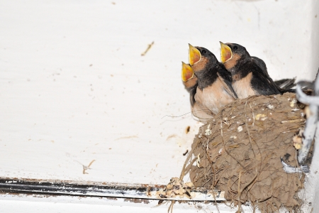 Young barn swallow in nest in white corner wall Stock Photo
