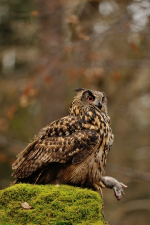 bird eating raptors: Eurasian Eagle Owl holding mouse as prey on moss rock Stock Photo