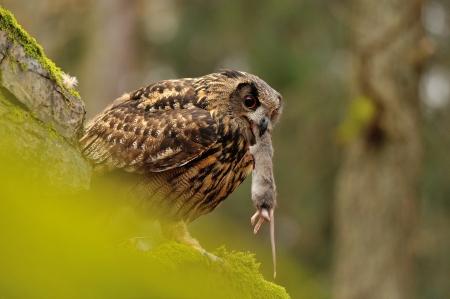 bird eating raptors: Eurasian Eagle Owl eating his mouse pray on moss rock Stock Photo