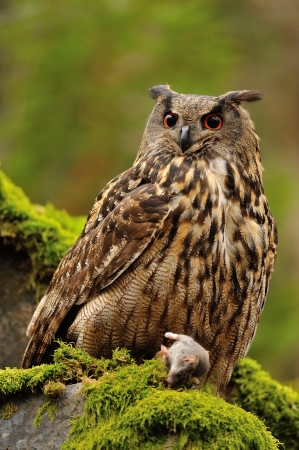bird eating raptors: Eurasian Eagle Owl watching his hunt down mouse prey on moss rock