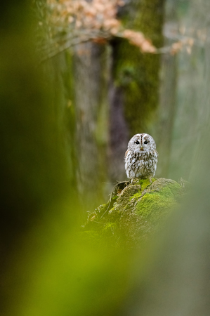Tawny Owl in the wood on stamp with green moss