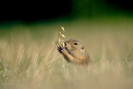 European ground squirrel eating ear of avena in the grass photo
