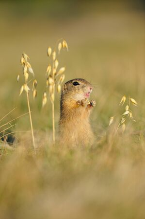 European ground squirrel with ears of avena on the golden grass with green background photo