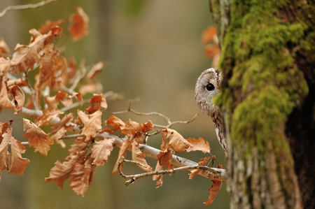 Tawny Owl hiddne behind tree trunk with moss Stock Photo