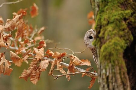 Tawny Owl hiddne behind tree trunk with moss Standard-Bild