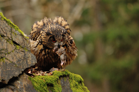 Eurasian Eagle Owl standing on rock with moss with hunt down mouse
