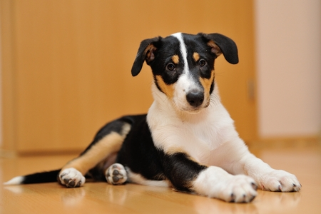 Puppy of Smooth Collie lying on the wooden floor at home Standard-Bild
