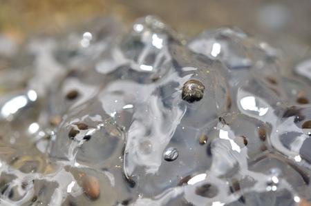 frog egg: Macro closup view on frog eggs in water