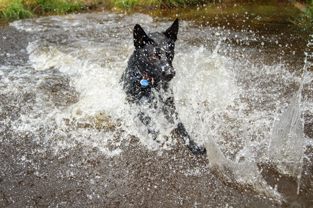 retrieve: Black dog runing in water for retrieve and splashing around