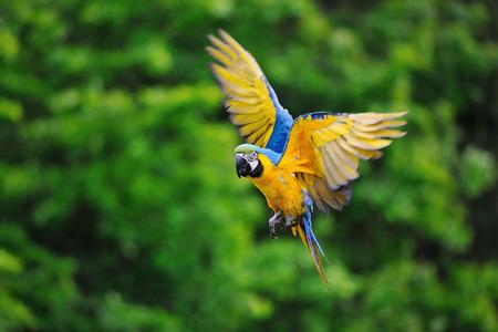 Flying blue-and-yellow Macaw- Ara ararauna