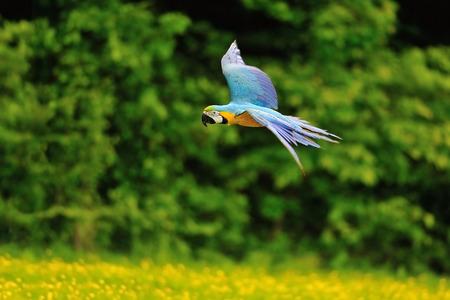 ararauna: Flying azul y amarillo ararauna Guacamayo Ara-de un lado Foto de archivo