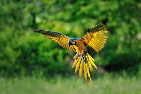 parrot flying: Front view on landing blue-and-yellow Macaw - Ara ararauna with green Stock Photo
