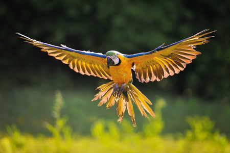Front view on landing blue-and-yellow Macaw - Ara ararauna with green Stock Photo