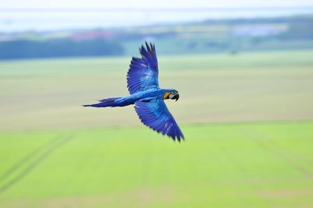 ararauna: Flying azul y amarillo ararauna Guacamayo Ara-de un lado sobre los campos