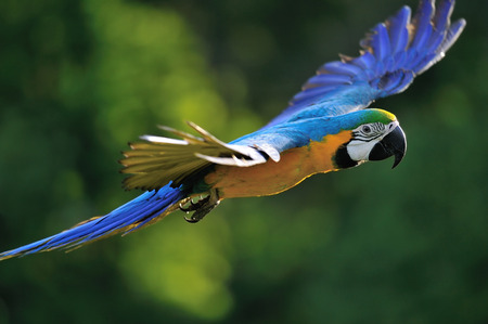 Flying blue-and-yellow Macaw- Ara ararauna from side Stock Photo