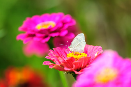 White butterfly sitting on blossom between dahlia flowers photo