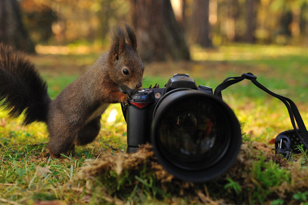 Curious brown squirrel with camera on green grass in forest