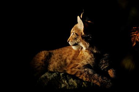 Eurasian lynx in the dark lighten by sun Stock Photo