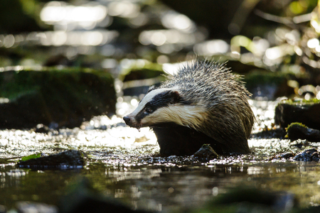 European badger walking in the forest strem Stock Photo