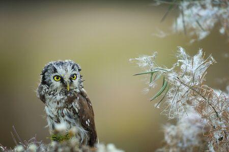 boreal: Boreal owl with fuzz down on straw Stock Photo