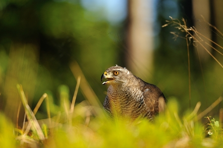Northern goshawk head in a grass on the forest ground Stock Photo