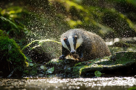 cold water: European badger shaking and splashing water drops around