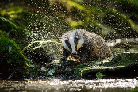 European badger shaking and splashing water drops around