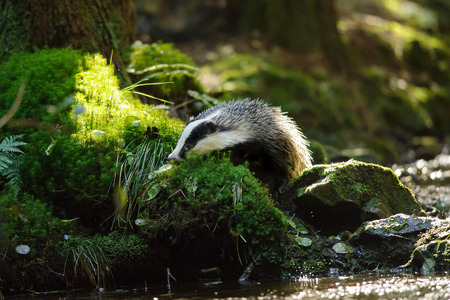 European badger sniffing next to the forest stream Stock Photo