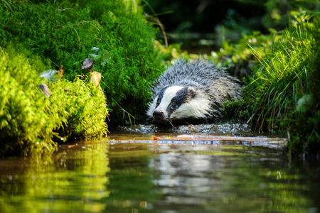 European badger swiming in the forest strem