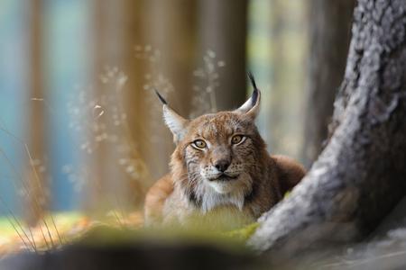 Eurasian lynx hidding behind tree trunk in autumn