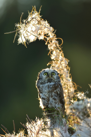 boreal: Boreal owl looking up in beautifull backlight fuzzy straws