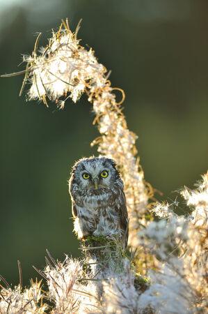 boreal: Boreal owl in beautifull backlight fuzzy straws