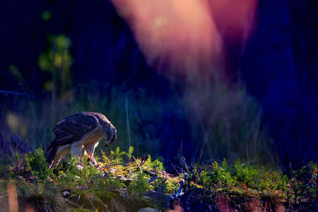 northern goshawk: Northern goshawk on the ground with magical colors
