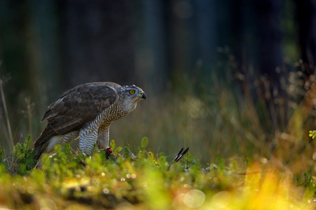 hunted: Northern goshawk on the ground with hunted prey